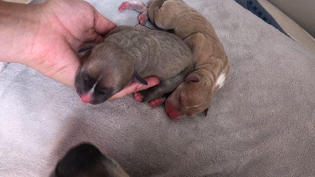 Filhotes de pitbull com pedigree - Foto 4