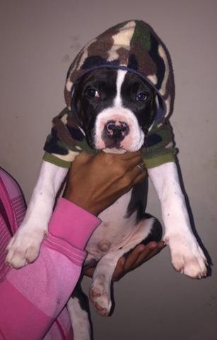 Vendo filhote de pitbull macho - Foto 2