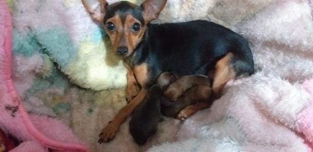 Pinther(cachorro)300 reais
