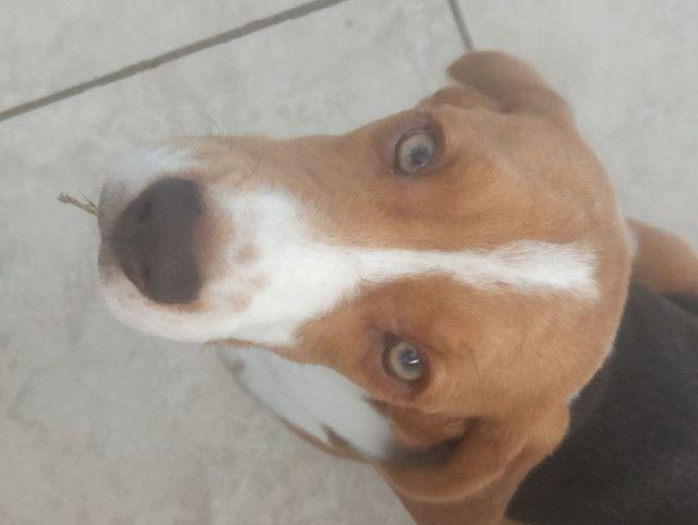 Beagle - Foto 3