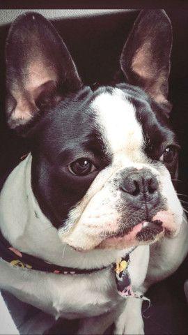 Bulldog Francês 2 Anos para Cruza - Foto 2
