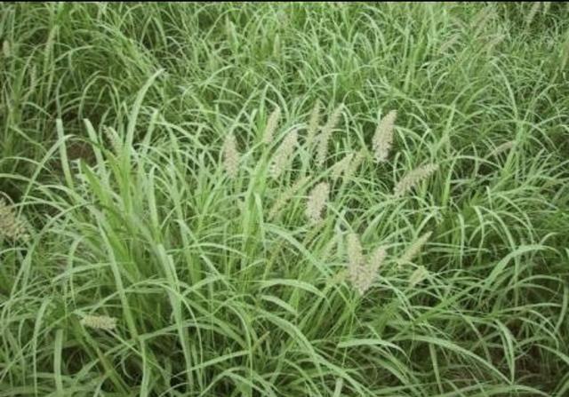 Sementes de capim Buffel Grass e Uruchloa