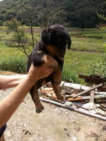 Rottweiler alto padrão - Foto 4