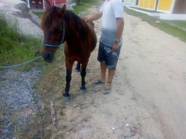 Vendo cavalo pampo e piquira - Foto 5