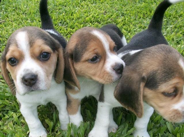 Beagle Mini bicolor/tricolor, suporte veterinário gratuito pronta entrega