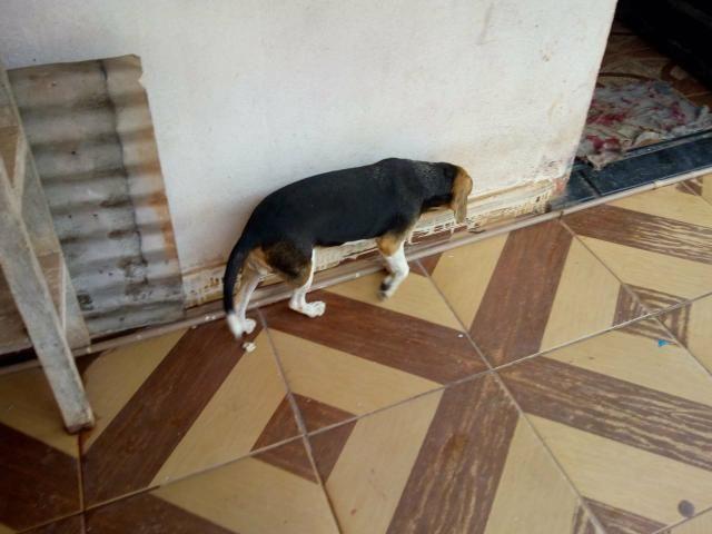 Vende -se casal de Beagle com pedigree - Foto 6