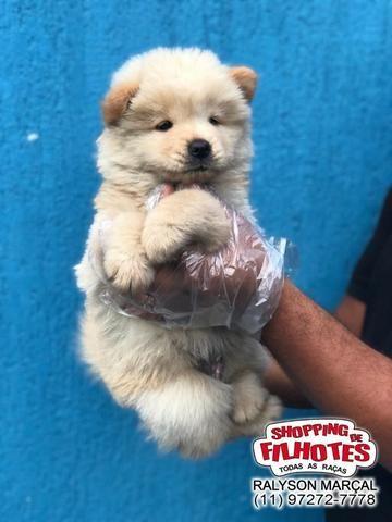 Chow-Chow creme/laranja/preto, com garantias totais! com pedigree, vacina e vermifugo - Foto 3
