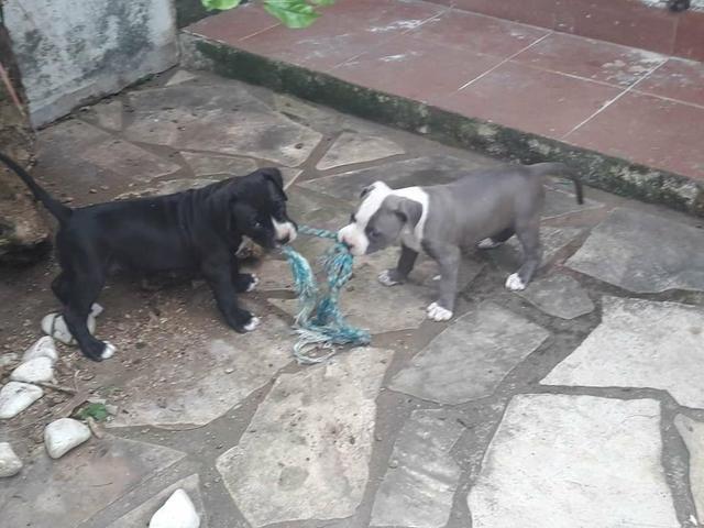 Filhotes cinza macho 500 reais ate 12x no cartao - Foto 3