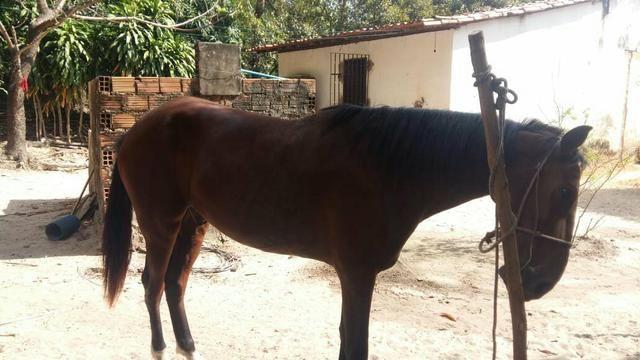 Vendo Lindo Cavalo de Raça