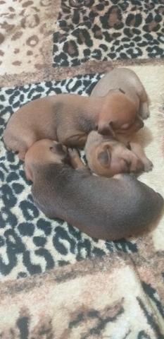 Pinther(cachorro)300 reais - Foto 2