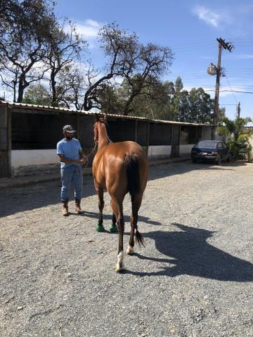 Cavalo Quarto de Milh - Foto 2