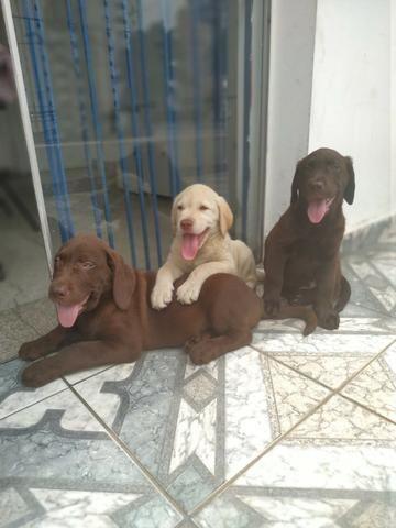 Labrador chocolate/amarelo/preto, machos e fêmeas com garantias e suportes exclusivos - Foto 3