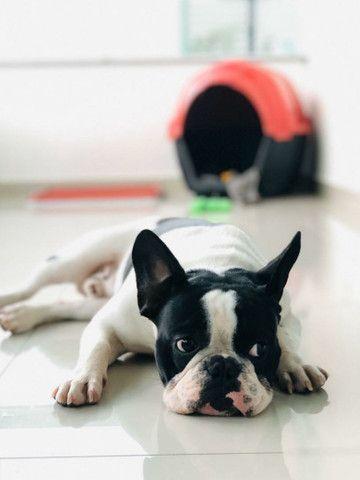 Bulldog Francês 2 Anos para Cruza - Foto 5