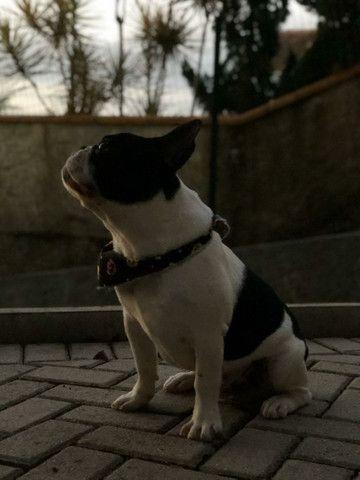 Bulldog Francês 2 Anos para Cruza - Foto 3