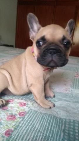 Bulldog Francês Fêmea - Foto 3