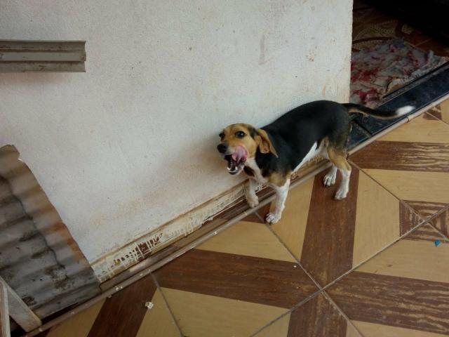 Vende -se casal de Beagle com pedigree - Foto 5