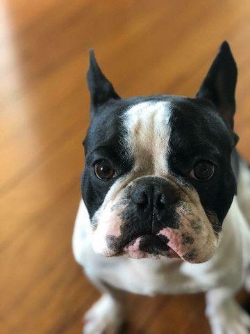 Bulldog Francês 2 Anos para Cruza - Foto 6
