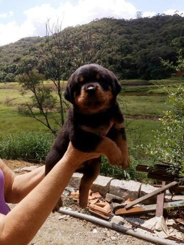 Rottweiler alto padrão - Foto 3