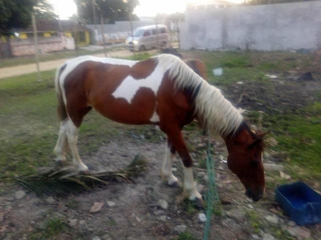 Vendo cavalo pampo e piquira