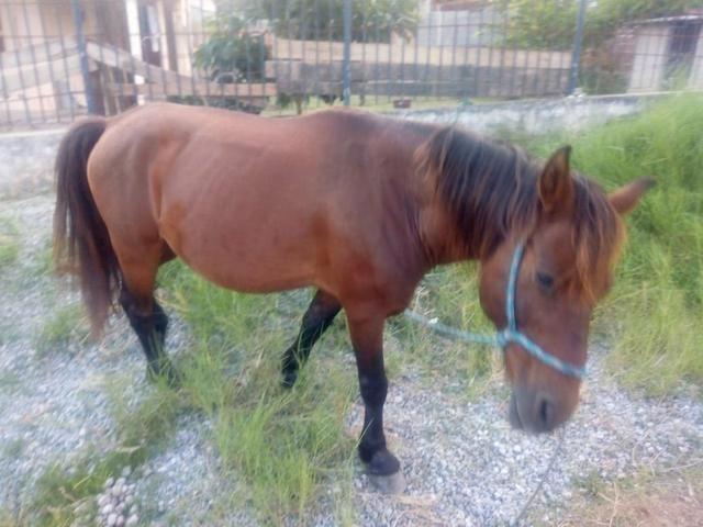 Vendo cavalo pampo e piquira - Foto 4