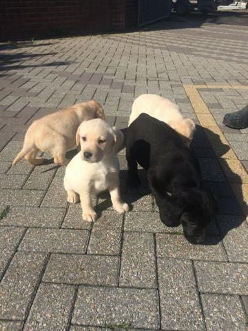 Filhotes de Labrador a pronta entrega. Amarelo/preto/choco. Contato via whats - Foto 3