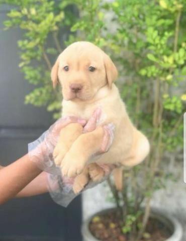 Labrador chocolate/amarelo/preto, machos e fêmeas com garantias e suportes exclusivos
