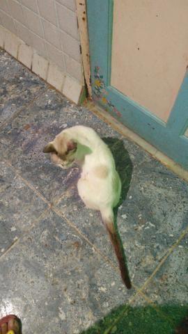 Gato mancinho castrado
