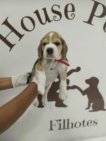 Beagle 13 polegadas, bicolor e tricolor, com suporte veterinário gratuito! - Foto 3