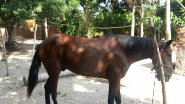 Vendo Lindo Cavalo de Raça - Foto 2