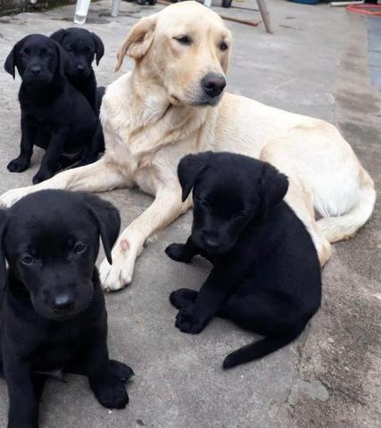 Labrador chocolate/amarelo/preto, machos e fêmeas com garantias e suportes exclusivos - Foto 5
