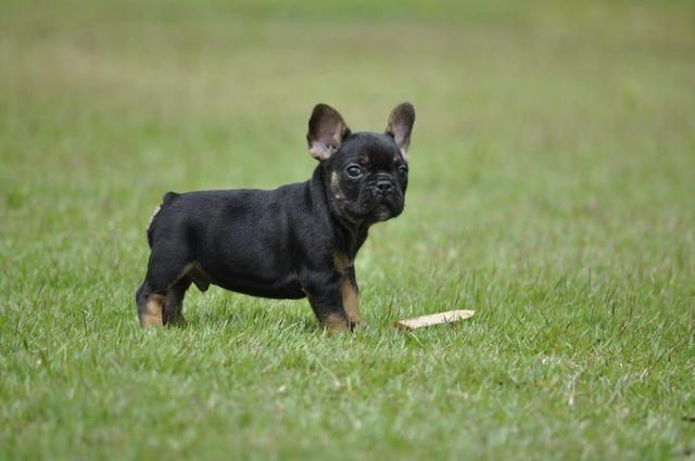 Exóticos e cores padrão da raça Bulldog francês - Macho black And Tan Top - Foto 2