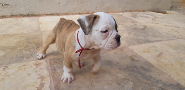 Filhotes de Bulldog Campeiro  - Foto 5