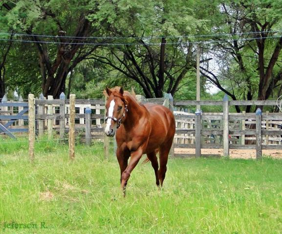 Vt Cavalo De Vaquejada