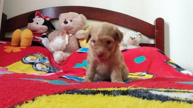 TOP dos top filhotes de poodle toy originais leia - Foto 3