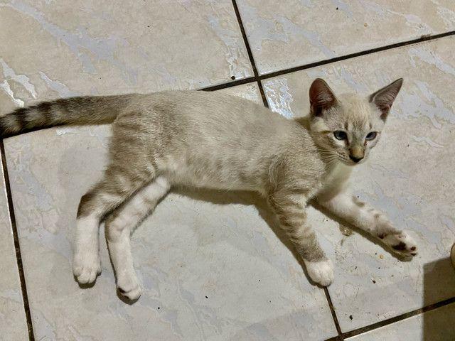 Gatinhos filhotes 2 meses - Foto 6