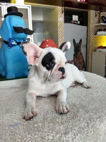 Cachorra bulldog francês - Foto 2