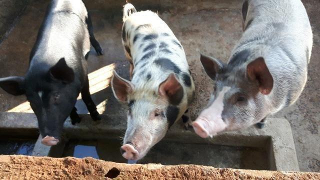 Leitao e porco - Foto 2