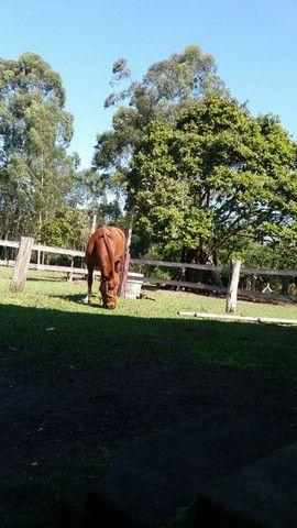 Cavalo Criolo - Foto 2