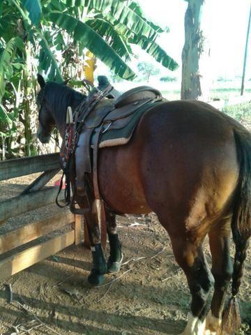 Cavalo pronto,no pe do boi