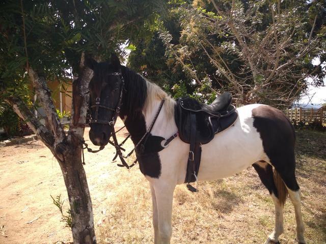 Cavalo Mangalarga Pampo de preto - Foto 4