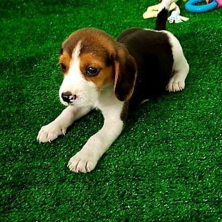 Beagle Última fêmea disponível  - Foto 2