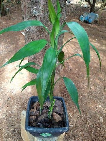 Bambuzinho da sorte - Foto 3