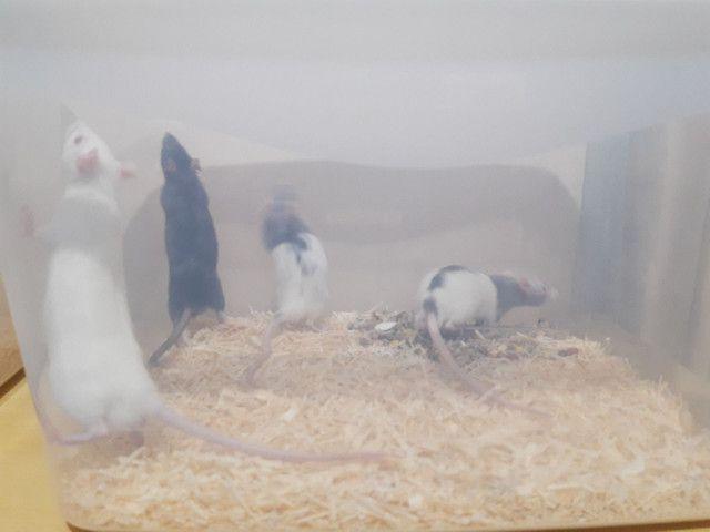 Kit roedor ! Rato , hamster , gerbil , camundongo - Foto 6