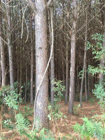 Reflorestamento de Pinus - Irati - 11.000 Arvores