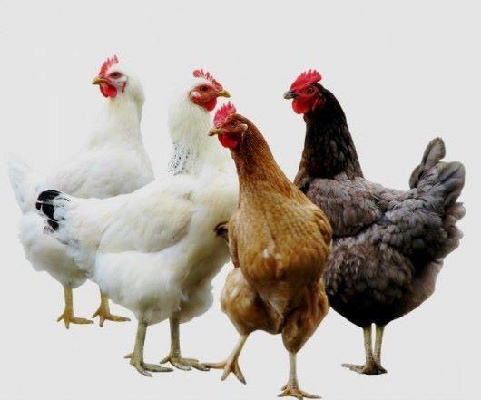 Frango e Ovos Caipira vivo ou abatido