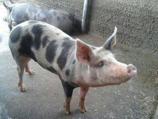 Leitao e porco - Foto 3