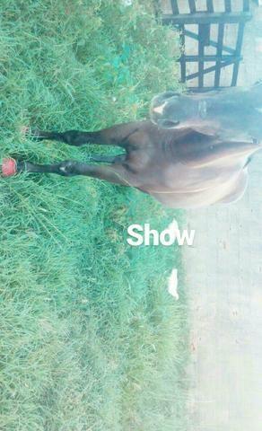 Cavalo quarto de milha 7/8 - Foto 2
