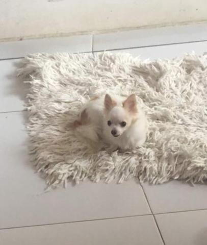 Lindo Chihuahua zero - Foto 3