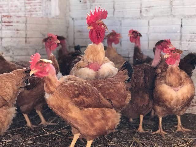 Pintinhos Label Rouge Raça pura ( Boa para Ovos e Carne)