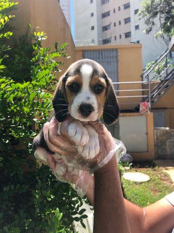 Beagle - Amor incondicional